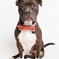 Boxer Mix Dog for adoption in Jefferson, Louisiana - Buddy @ Pets R Our World