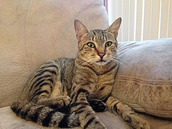 Domestic Shorthair Cat for adoption in Oviedo, Florida - Leo