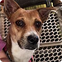 Adopt A Pet :: SweeteyPie - ST LOUIS, MO