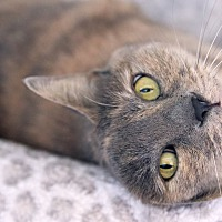 Adopt A Pet :: Alice - St Louis, MO