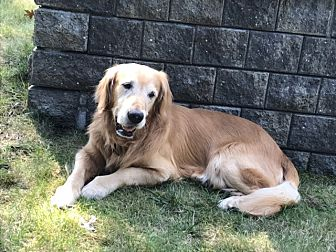 Golden Retriever Dog for adoption in New Canaan, Connecticut - Mate
