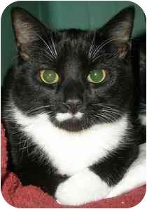 Domestic Shorthair Kitten for adoption in Medford, Massachusetts - Edward