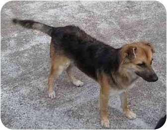 Collie Mix Dog for adoption in Kingwood, Texas - Hope