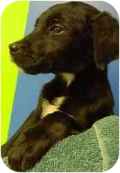 Labrador Retriever Mix Puppy for adoption in Kansas City, Missouri - Courtesy List-A12246109- 1/24