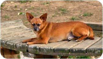 Chihuahua Mix Dog for adoption in Clarksville, Tennessee - Rocket