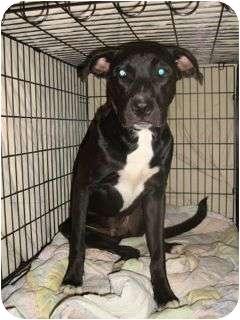 Labrador Retriever/Terrier (Unknown Type, Medium) Mix Dog for adoption in Schertz, Texas - Luke