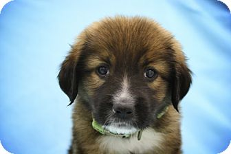 St. Bernard Mix Puppy for adoption in Broomfield, Colorado - Grumpy
