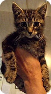 Domestic Shorthair Kitten for adoption in Sylva, North Carolina - Coriolanus