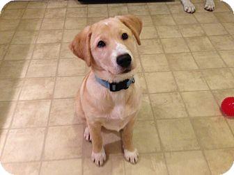 Golden Retriever/Labrador Retriever Mix Puppy for adoption in Foster, Rhode Island - Mindy