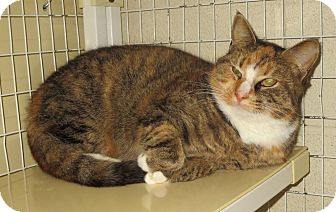 Domestic Shorthair Cat for adoption in Elizabeth City, North Carolina - Annibelle