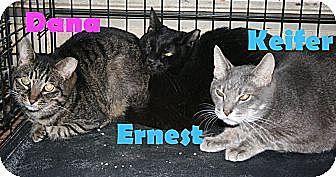 Domestic Shorthair Cat for adoption in East Stroudsburg, Pennsylvania - Dana