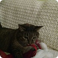 American Shorthair Cat for adoption in Gainesville, Georgia - muffin