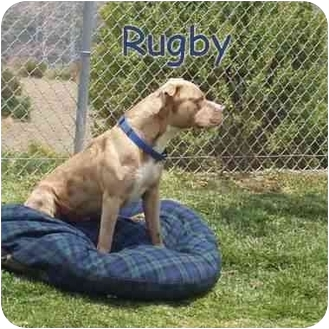 American Pit Bull Terrier Dog for adoption in San Clemente, California - RUGBY = Sweet Good & WalksWell