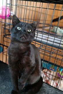 Domestic Shorthair Cat for adoption in San Pablo, California - JACK