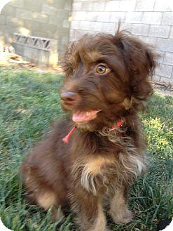 Labradoodle Mix Puppy for adoption in Las Vegas, Nevada - Wyatt
