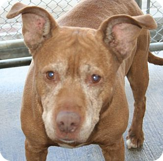 Labrador Retriever/Pit Bull Terrier Mix Dog for adoption in Waterbury, Connecticut - Granny
