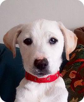 Labrador Retriever Mix Puppy for adoption in San Diego, California - POLLY