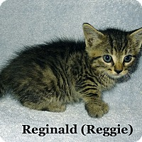Adopt A Pet :: Reginald - Bentonville, AR