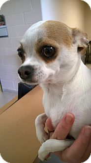 Chihuahua Dog for adoption in Troy, Ohio - Peaches