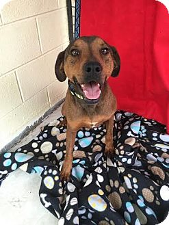 Redbone Coonhound/Shepherd (Unknown Type) Mix Dog for adoption in Columbia, Tennessee - Halo**Pending Adoption**