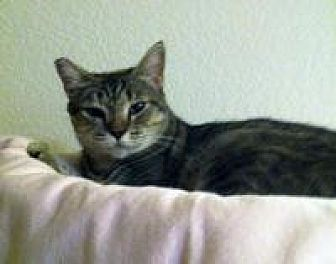 Domestic Shorthair Cat for adoption in Mission Viejo, California - Portia