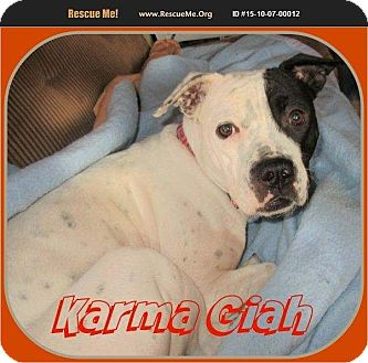 American Pit Bull Terrier/Dalmatian Mix Puppy for adoption in Englewood, Colorado - Karma Giah