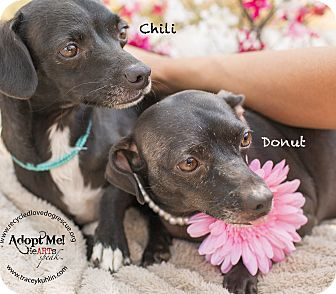 Dachshund Mix Dog for adoption in Inland Empire, California - DONUT
