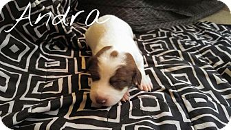 American Staffordshire Terrier Mix Puppy for adoption in Los Angeles, California - Andra