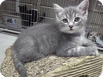 Domestic Shorthair Kitten for adoption in Owenboro, Kentucky - SMOKEY