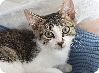 Domestic Shorthair Kitten for adoption in Bristol, Connecticut - Dexter & Rex