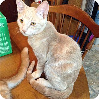 Domestic Shorthair Kitten for adoption in Phoenix, Arizona - Uno