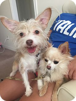 Chihuahua/Pomeranian Mix Dog for adoption in Mount Hope, Ontario - Jackie Chan