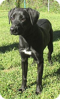 Labrador Retriever Mix Puppy for adoption in Reeds Spring, Missouri - Edith