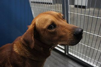 Labrador Retriever/Golden Retriever Mix Dog for adoption in Franklinville, New Jersey - Jake