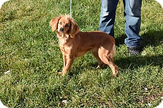 Cocker Spaniel Mix Dog for adoption in North Judson, Indiana - daisy