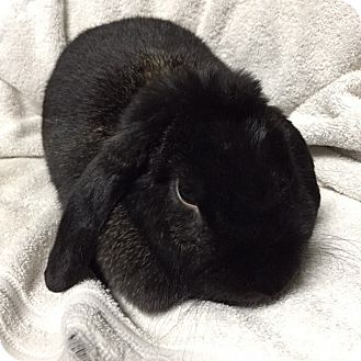 Mini Lop Mix for adoption in Wheaton, Illinois - Norma