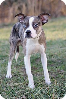 Boston Terrier Mix Puppy for adoption in Waldorf, Maryland - Palmer