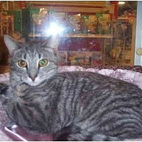Domestic Shorthair Cat for adoption in Jersey City, New Jersey - Precious
