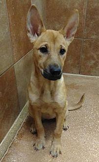 Shepherd (Unknown Type)/Retriever (Unknown Type) Mix Puppy for adoption in San Antonio, Texas - 445341 Wiggle