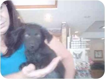 Border Collie/Labrador Retriever Mix Puppy for adoption in Higginsville, Missouri - Little Bit