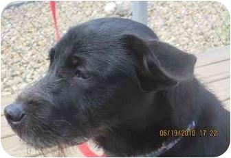 Terrier (Unknown Type, Medium)/Labrador Retriever Mix Puppy for adoption in Berea, Ohio - Coco