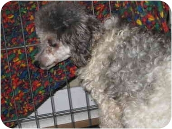 Poodle (Miniature) Dog for adoption in Evansville, Indiana - lindz
