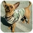 Photo 2 - Chihuahua Mix Dog for adoption in Los Angeles, California - Brick