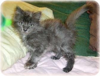 Domestic Longhair Kitten for adoption in Brighton, Michigan - Walsh