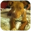 Photo 4 - American Pit Bull Terrier Dog for adoption in Los Angeles, California - Foxy Brown