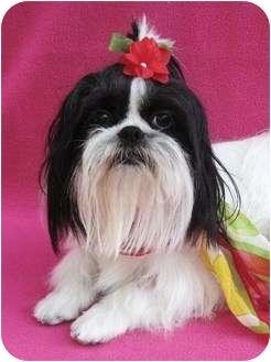 Shih Tzu Dog for adoption in Irvine, California - Mu-Shu