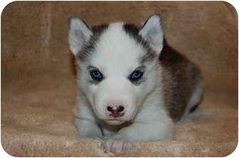 Siberian Husky Mix Puppy for adoption in Rochester/Buffalo, New York - Seymour