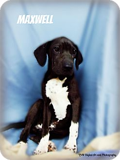 Labrador Retriever/German Shorthaired Pointer Mix Puppy for adoption in Southington, Connecticut - Maxwell