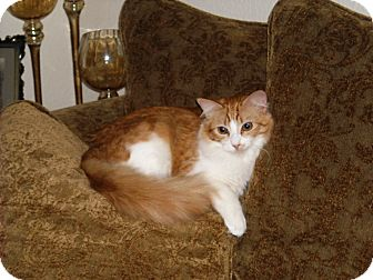Maine Coon Cat for adoption in Mission Viejo, California - Abby