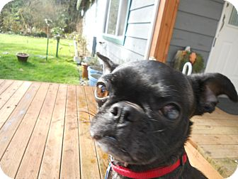 Pug/Boston Terrier Mix Dog for adoption in Bellingham, Washington - Bugs